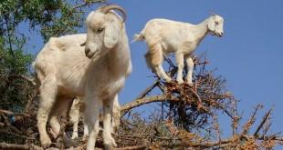 إرشادات المكتب الوطني للاستشارة الفلاحية لمربي الماشية