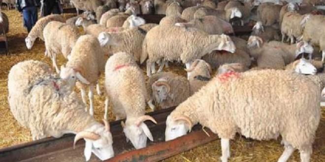 رسميا: السماح بدخول أضاحي العيد المغربية إلى مليلية