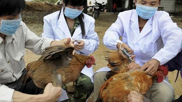 الصين: إعدام 500 66 دجاجة بعد اكتشاف مرض إنفلونزا الطيور بالبلاد