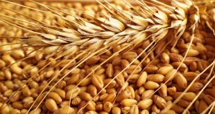 القمح: المغرب ضمن قائمة أكبر الدول المستوردة