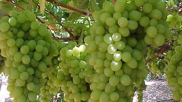 زراعة العنب تسجل موسما جيدا بجهة الدار البيضاء-سطات