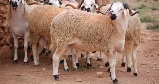 سيدي بنور: أول سوق حديثة مخصصة للماشية بالمغرب