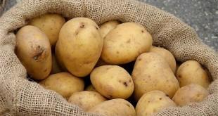 كيفية انجاح زراعة البطاطس و طريقة جنيها