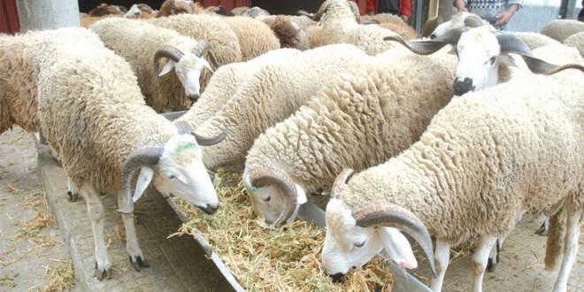 مليلية: جدل جديد حول استيراد الأغنام من المغرب