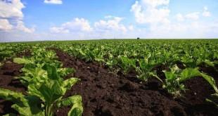 الزراعات السكرية: موسم فلاحي جيد بجهة الغرب