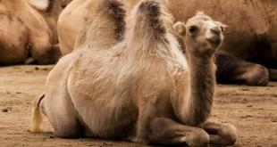 Filière cameline: Son importance dans les régions du sud