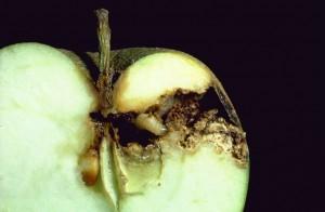 Le carpocapse du pommier (Cydia pomonella)