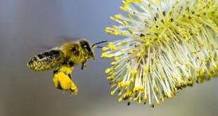 Des millions d'abeilles pollinisatrices mortes à cause d'un virus