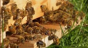 Des jachères apicoles pour polliniser les cultures
