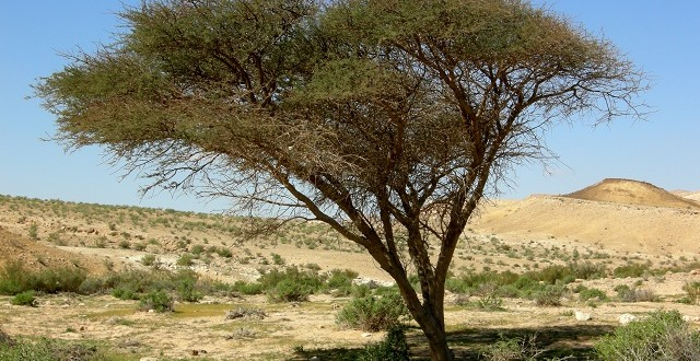 L'acacia une richesse écologique du sud marocain à préserver