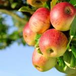 Baisse dans la production de pommes en Allemagne