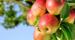 Baisse dans la production de pommes