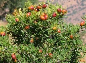 Arganiculture-développement-Maroc-PMV