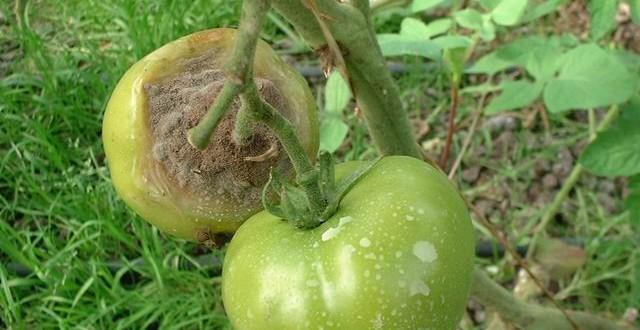 Botrytis: Lutter contre la pourriture grise de la tomate