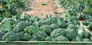 Un catalogue variétal de brocolis à Murcia