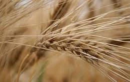 Céréales, une collecte cumulée de 12,3 Mqx à fin août 2015