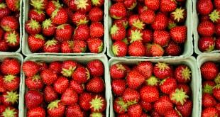 CTIFL: première porte ouverte des essais de fraises hors sols