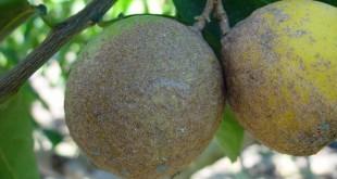 Cochenille: Programme de lutte pour un verger d'agrumes sain - AgriMaroc.ma