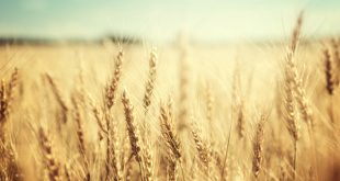 production céréalière Maroc