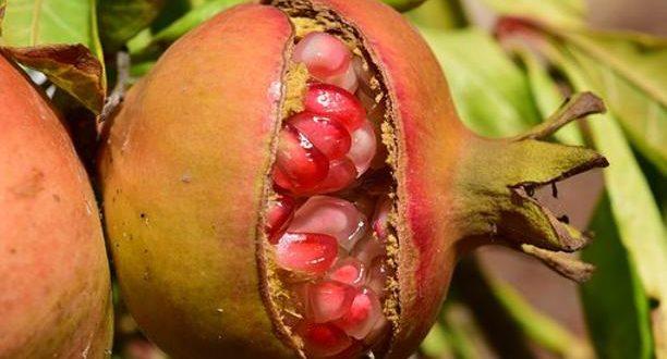 Tunisie: Les agriculteurs appelés à commencer la lutte biologique contre l'Ectomyelois ceratoniae