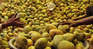 Le Festival des Mangues Pakistanaises a séduit le Maroc