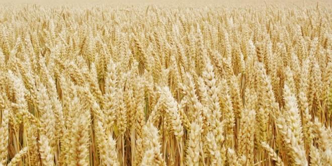 La France perd sa place de 1er exportateur européen de blé