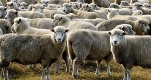 173 cas de fièvre catarrhale ovine confirmés en France