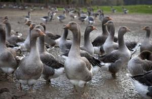Grippe aviaire, vide sanitaire pour stopper l'épidémie