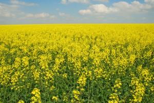 """L'Institut National de la Recherche Agronomique (INRA) Maroc annonce l'apparition de deux de nouveaux livres en cette fin d'année. Il s'agit de """"L'amélioration génétique du colza : enjeux et réalisations pour un ..."""