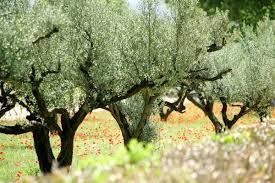 Abats de 1600 oliviers en Italie...