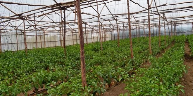 Le bambou pour fabriquer des serres agricoles