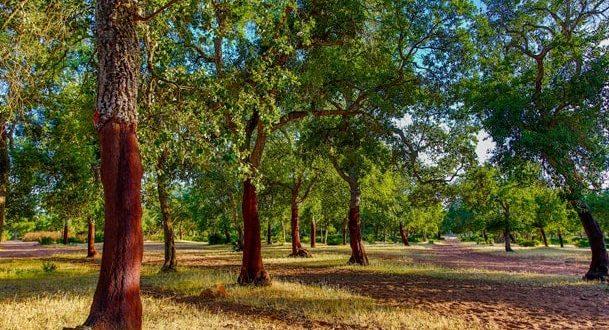 Des insectes défoliateurs attaquent plus de 15.000 hectares de forêt près de Rabat