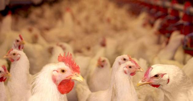 L'ONSSA prend des mesures pour limiter l' influenza aviaire