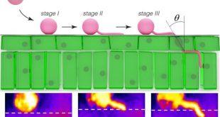 Voici comment l'agent pathogène du mildiou pénètre dans la plante