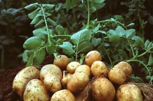 Hausse de la demande de pomme de terre en Europe