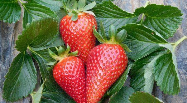 Parthenope®, la nouvelle variété de fraise à faible refroidissement