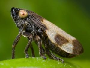 Philaenus-spumarius de la famille aphrophoridae -Principal vecteur en Europe