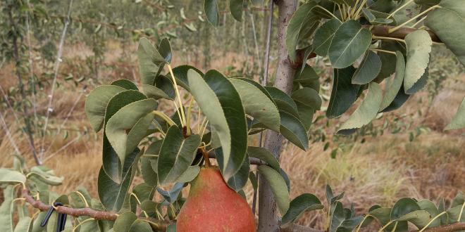 Poire Rosemary select / ©Sherwood Farm