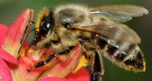Apiculture: 40% du pollen assuré par les adventices