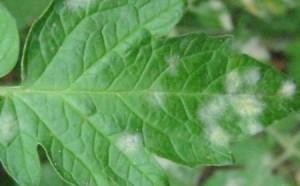 Symptôme saupoudrage blanchâtre/duvet blanc