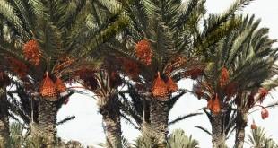Le charançon rouge, un insecte ravageur du palmier dattier, s'attaque aux palmiers d'ornement du Grand Tunis, a déclaré samedi 13 février, le ministre de l'Agriculture tunisien.