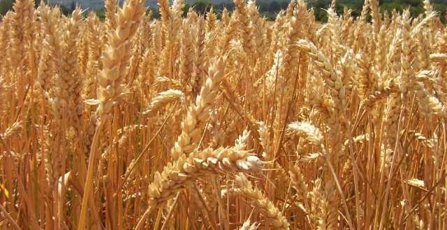La Tunisie produit moins d'1 Mt de blé dur par an