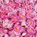 La Turquie assure 60% de la production mondiale des roses