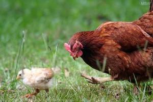 Exportations de volailles, fin des subventions dans l'UE