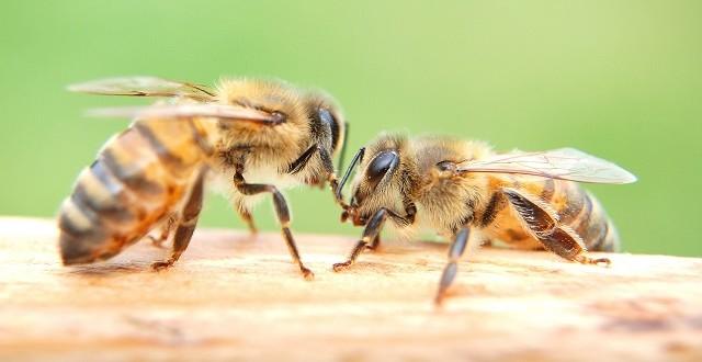 Officiel: interdiction dès 2018 des néonicotinoïdes tueurs d'abeilles