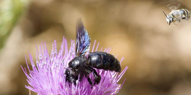 Maroc : l'apiculture en manque de médicaments contre la varroase
