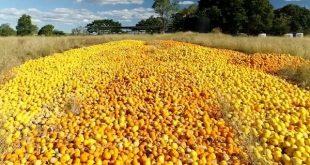 Australie des tonnes d'agrumes jetées en raison de la pénurie de main œuvre