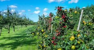 Al Hoceima: 10.000 ha additionnels d'arbres fruitiers