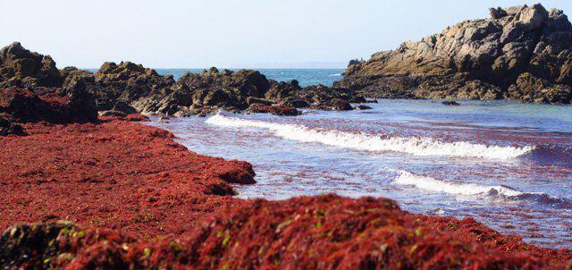 Pénurie de l'algue rouge marocaine, la microbiologie s'inquiète