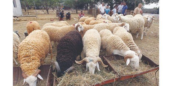 Fès-Meknès les éleveurs bénéficient de 425000 orge aliments composés